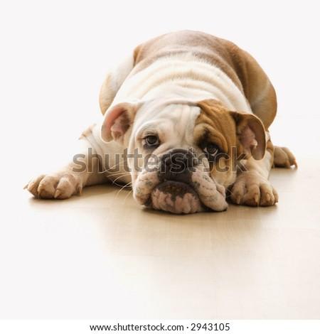 English Bulldog lying on floor looking at viewer. - stock photo