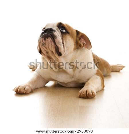 English Bulldog lying on floor looking up. - stock photo