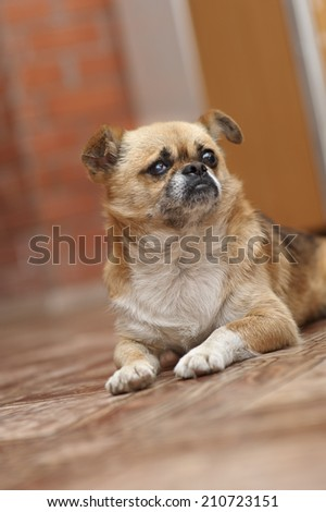English Bulldog lying on looking up. - stock photo