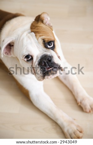 English Bulldog lying on wood floor with feet outstretched looking at viewer. - stock photo