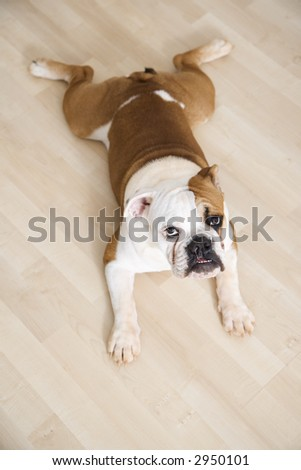 English Bulldog lying outstretched on wood floor looking at viewer. - stock photo