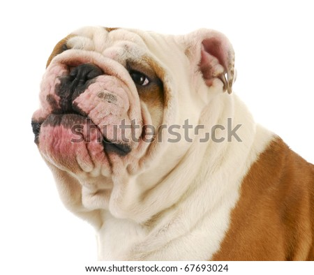english bulldog making silly expression on white background