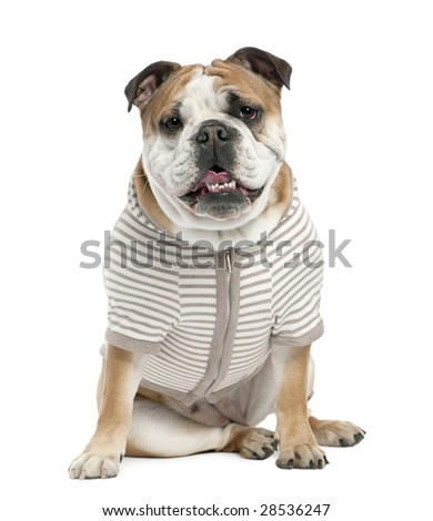 english Bulldog (15 mmonths old)  in front of a white background