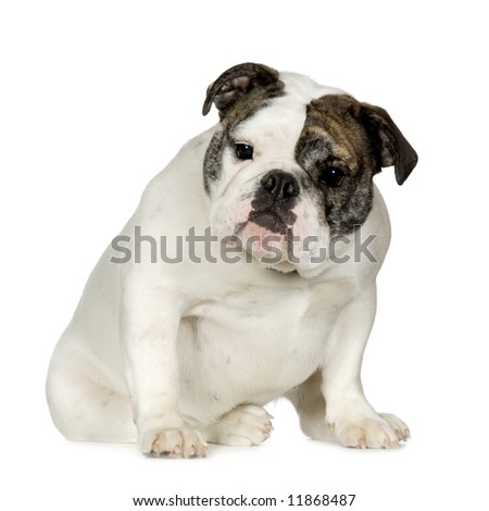 English Bulldog (15 months) in front of a white background