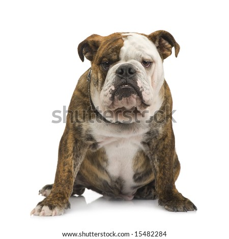 english Bulldog (6 months) in front of a white background - stock photo