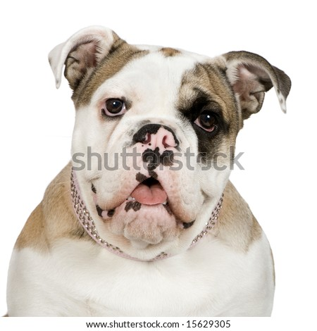 english Bulldog (5 months) in front of a white background