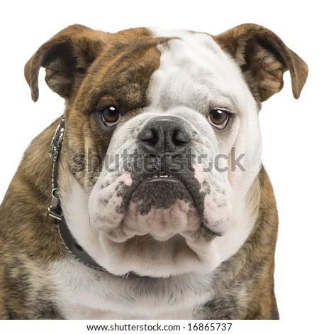 english Bulldog (6 months) in front of a white background