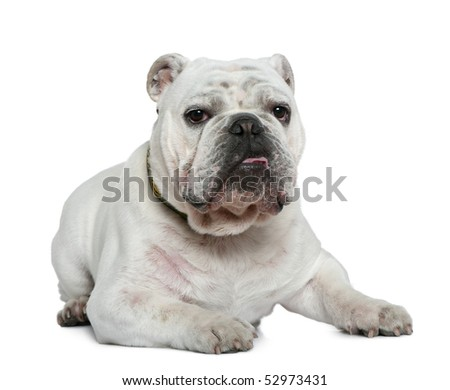 English bulldog, 10 months old, lying in front of white background - stock photo
