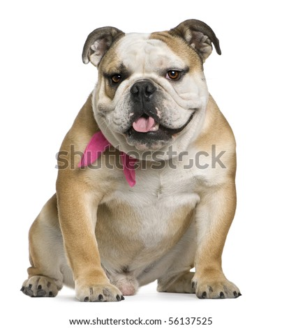 Image Old English Bulldog English Bulldog 11 Months Old