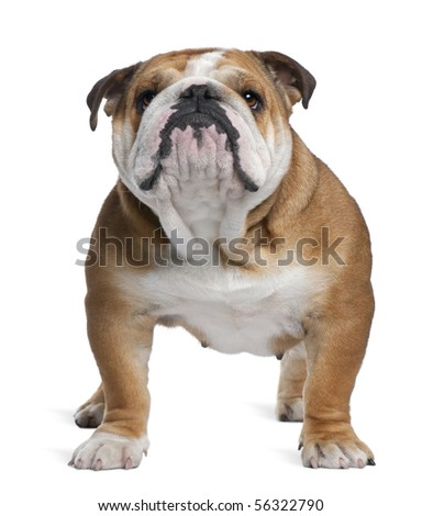 English Bulldog, 18 months old, standing in front of white background - stock photo