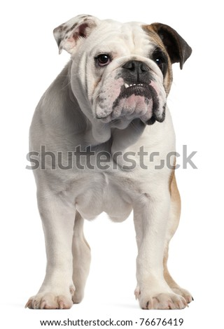 English bulldog, 7 months old, standing in front of white background - stock photo