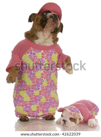 english bulldog mother and daughter wearing matching outfits - stock photo