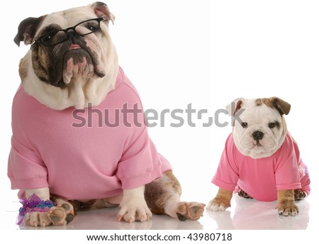 english bulldog mother and pup dressed in pink on white background - stock photo