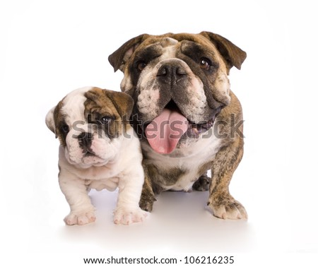 English Bulldog mother and pup isolated on white - stock photo
