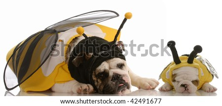 english bulldog mother and puppy dressed as bees - stock photo