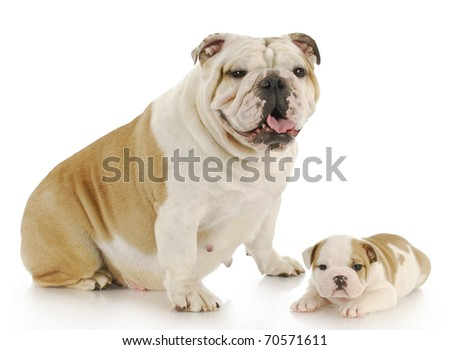 english bulldog mother and puppy looking at viewer with reflection on white background - stock photo