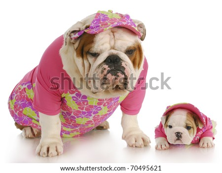 english bulldog mother and puppy wearing matching pink outfits on white background - stock photo