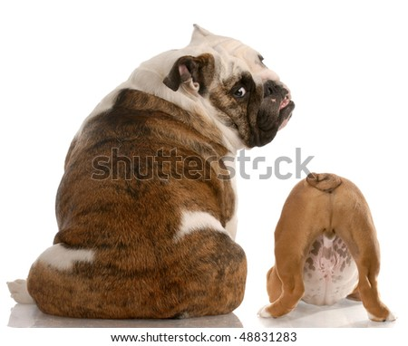 english bulldog mother and puppy with back to viewer with reflection on white background - stock photo