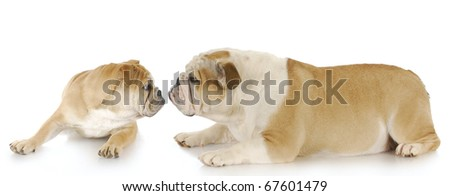 english bulldog mother and puppy with reflection on white background