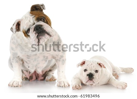english bulldog mother and twelve week old puppy together with reflection on white background - stock photo