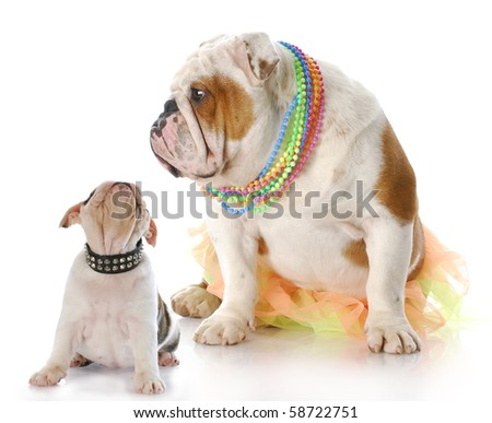 english bulldog mother sitting with puppy looking up at her face with reflection on white background - stock photo