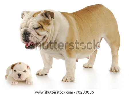 english bulldog mother standing over her puppy - six weeks old with reflection on white background - stock photo