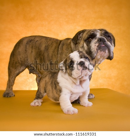English Bulldog mother with puppy on gold background - stock photo