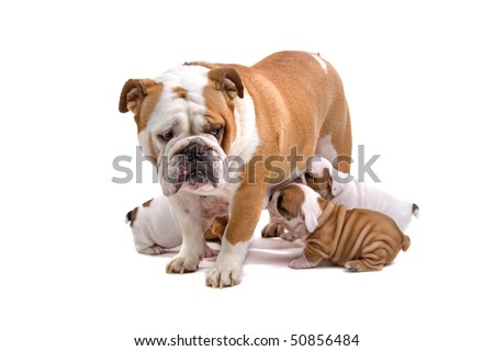 English bulldog nursing her puppies isolated on a white background