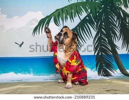 English Bulldog on a beach scene set up waiving - stock photo
