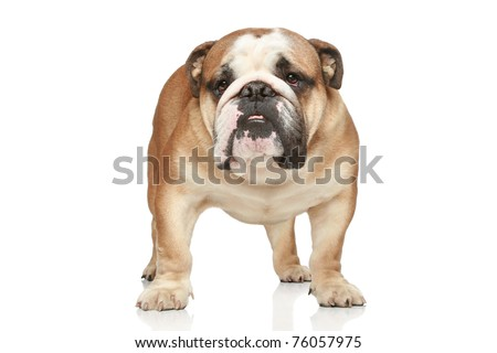 English bulldog on white background. Front view - stock photo