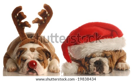 english bulldog - one dressed up as santa the other as rudolph - stock photo