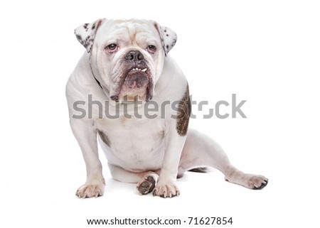 English bulldog or British Bulldog - stock photo