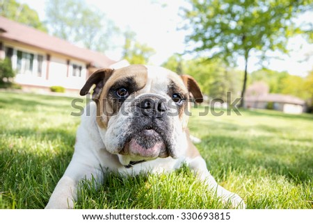 English Bulldog outdoors enjoying life