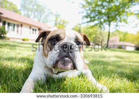 English Bulldog outdoors enjoying life - stock photo