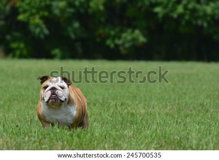 english bulldog outside in the grass - stock photo