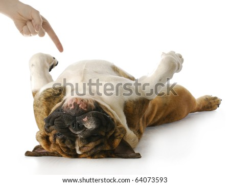 english bulldog playing dead with reflection on white background - stock photo