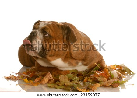 english bulldog playing in the autumn leaves - stock photo