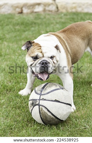 English Bulldog playing with a ball I, detail of a domestic pet playing, domesticated animal - stock photo
