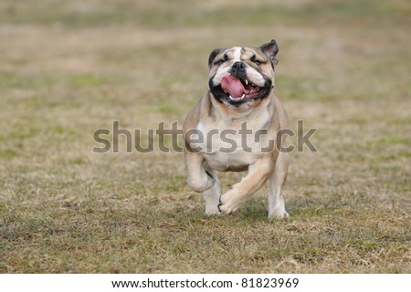 English bulldog puppie 8 months walking in the field Englische Bulldogge - stock photo