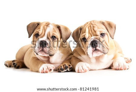 english Bulldog puppies - stock photo