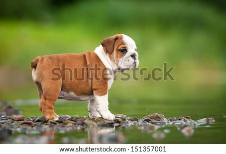 English bulldog puppy  - stock photo
