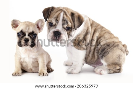 english Bulldog puppy and French Bulldog - stock photo