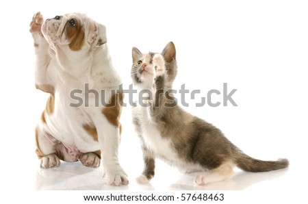 english bulldog puppy and kitten holding paw up to shake - stock photo
