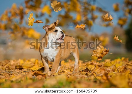 English bulldog puppy and leaf fall in the park in autumn - stock photo