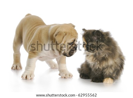 english bulldog puppy and persian kitten greeting each other with reflection on white background - stock photo