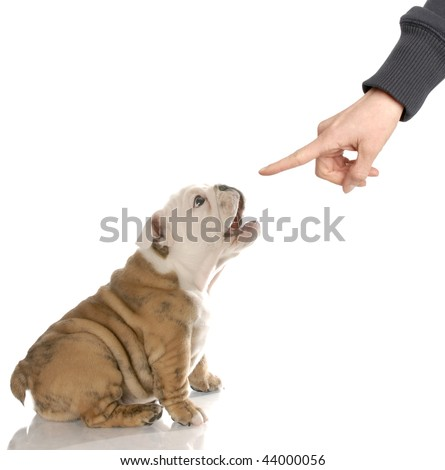 english bulldog puppy barking at finger reprimanding - stock photo
