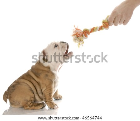 english bulldog puppy barking at hand offering dog toy - stock photo