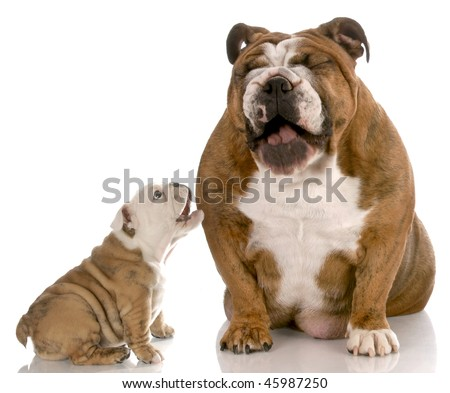 english bulldog puppy barking at laughing dog on white background - stock photo