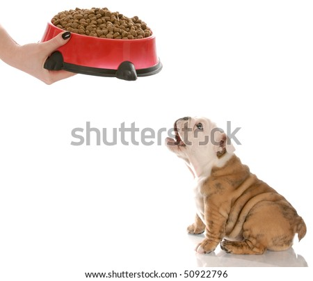 english bulldog puppy barking in anticipation while waiting to be feed - stock photo
