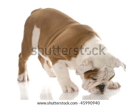english bulldog puppy bent over to eat a piece of dog kibble - stock photo